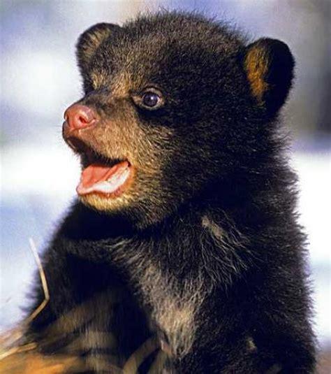 mille maxi une famille d 39 ours noirs suivie dans environnement