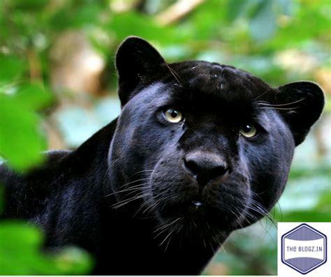 Black Panther Animal The Kingdom Theblogz