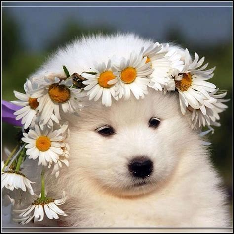 20 Best Images About Samoyed On Pinterest Coats Kinds