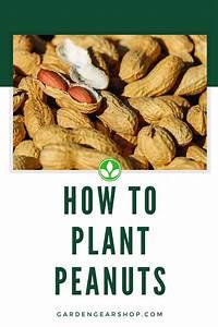 How To Plant Peanuts  Garden Guide   Gardengearshop