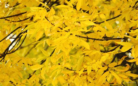 trees that turn yellow in fall yellow trees 50 wallpapers free wallpapers