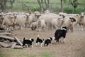 BORDER COLLIE w Sheep Herding Class on One 16 inch