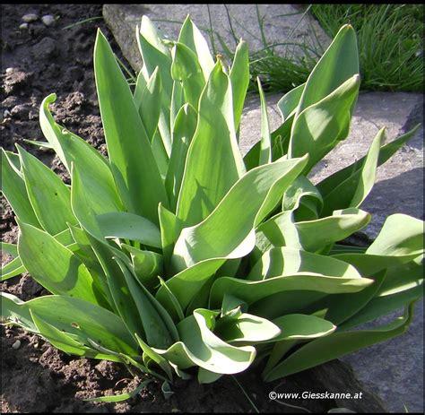 Garten Herbst Setzen by Tulpenzwiebeln Setzen Tulpen Setzen Im Eigenen Garten Am