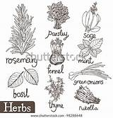 Herbs Coloring Pages Spices Herb Shutterstock Drawing Culinary Thyme Herbal Vector Illustration Eps Sketchite Results Pic Printable Sketches Doodle sketch template