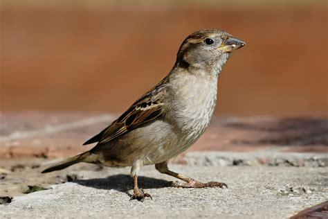 file house sparrow04 jpg wikipedia