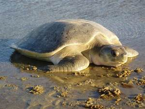 Save the Turtles - Leatherback, Hawksbill, Green ...