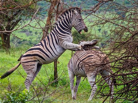 South african animals — animals native to south africa. ZebraThe stripes of a zebra are different for each animal, just like human fingerprints. These ...