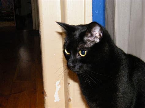 fileblack cat waitingjpg wikimedia commons