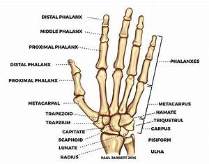 Diagram  Human Hand And Wrist Anatomy Diagram