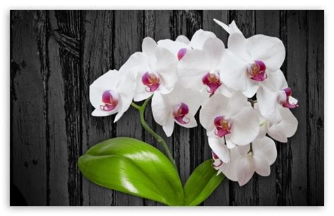 white orchid flower ultra hd desktop background wallpaper