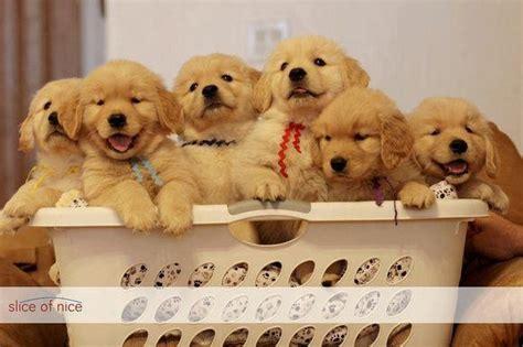cute lab puppies pinterest gifts retriever