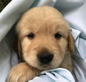 golden retriever puppies for sale great valley ny 299210