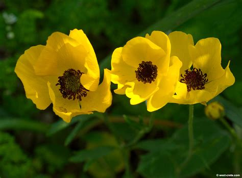 ranunculus buttercup for sale use quot freeship quot code today