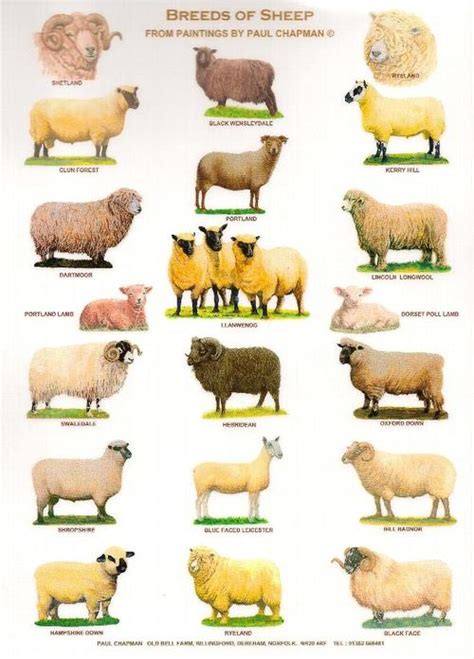sheep names agriculture advocacy rhosynnauachestyll