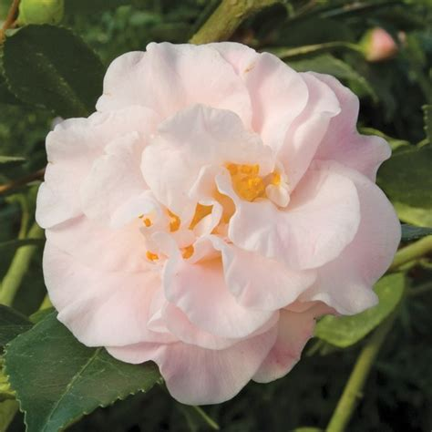 camellia zone 5 camellia high fragrance camellia plants for sale at logee s