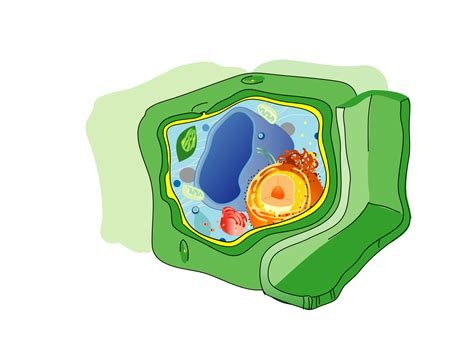 File Plant Cell Structure Text Svg Wikimedia Commons