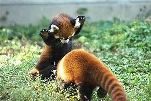 cute baby red pandas - Daily Picks and Flicks