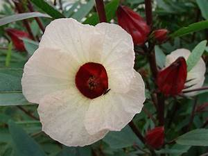 Hibiscus sabdariffa - Roselle | World of Flowering Plants