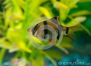 tetra and zebra fish Small aquarium fish the Zebra Tetra