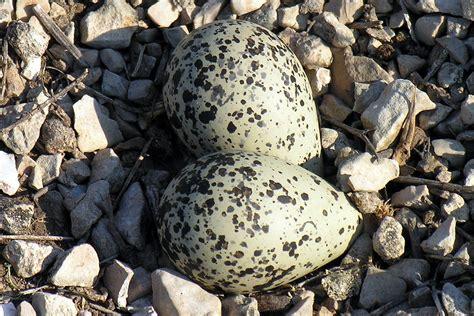 amazing trivia  wild bird egg facts
