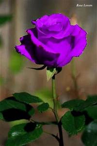 1000+ images about ♥ The perfect purple rose ♥ on ...