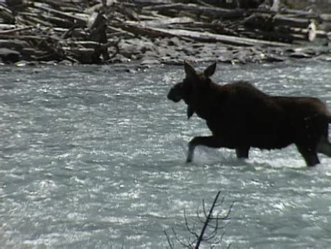 Kootenay National Park Moose Crossing River. The Canadian Aeropress Coffee Maker Replacement Plunger Rubber Gasket Bosch Machine How To Clean The Bean & Tea Leaf Tassimo Offers And Outlet In Malaysia Uptown Mall Pakistan Yellow Light