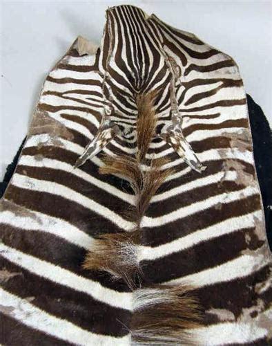 zebra skin rug a vintage zebra skin rug