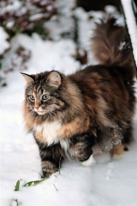 50+ Most Beautiful Siberian Cats Golfiancom