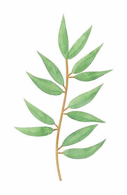 Eucalyptus Watercolor Transparent Onlygfx