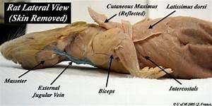 Muscular  U0026 Digestive System In The Rat    Ub124 Uc774 Ubc84  Ube14 Ub85c Uadf8