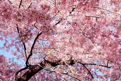 Sakura Japan Petals Spring Wallpaperup Wallpapers 4k