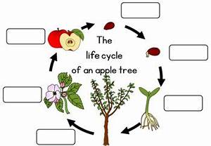 Apple tree life cycle worksheet by Little Blue Orange | TpT