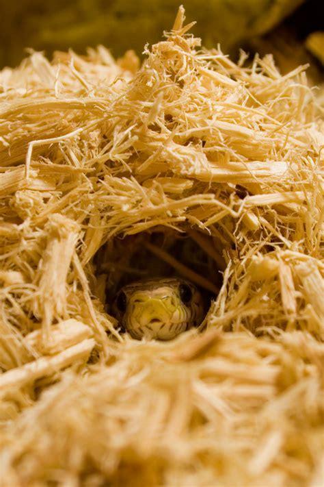 Aspen Bedding For Snakes by The Corn Snake Co Uk Corn Snake Care Sheet Information