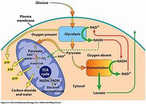 Biochemistry - How Does The Body Switch Between Aerobic And Anaerobic Respiration