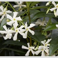 2 Plantsstar Jasmine Vine, Live Potted, Jasminoides
