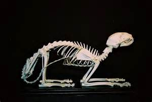 cat bones cat skeleton references animal anatomy