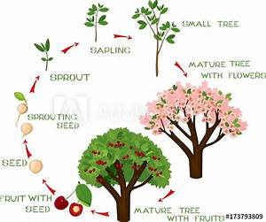 Life Cycle Of Cherry Tree With Captions  Plant Growing