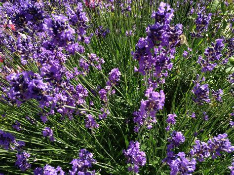 Lavendelpflege