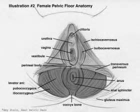 anatomy of the pelvic floor beyond basics physical