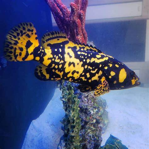 bumblebee grouper grope wallet thailand pk fish sea saltwater aquarium imgur