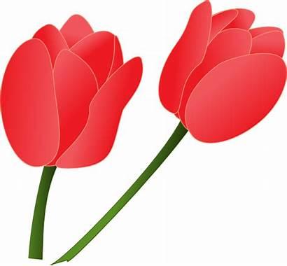 Tulip Clip Clipart Cartoon Tulips Pink Clker