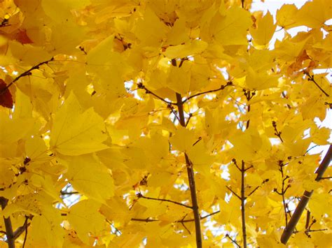 tree with yellow leaves in fall tree limbs of bright yellow leaves clippix etc educational photos for students and teachers