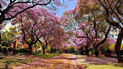 Sakura Tree Wallpapers Desktop Nature