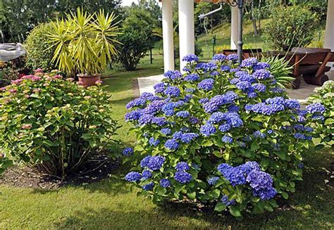 Lange Blühende Pflanzen hortensien