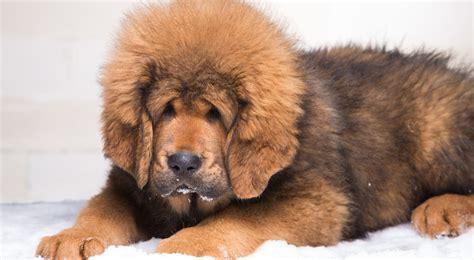 tibetan mastiff puppy 163 1 2m one million pound