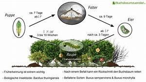 Alternative Zum Buchsbaum : bucbsbaumz nsler bek mpfen ~ Frokenaadalensverden.com Haus und Dekorationen