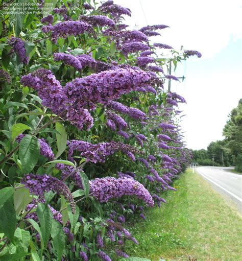 hedge plant with purple flowers plantfiles pictures buddleja species butterfly bush orange eye summer lilac buddleja