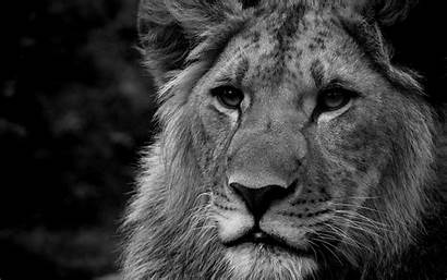 Lion Lions Wallpapers Desktop Background Roaring 1080p