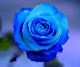 Beautiful Blue Roses Hearts