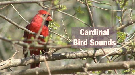 bird sounds cardinal bird sounds youtube